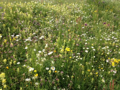 Biodiversität in Blumenwiese